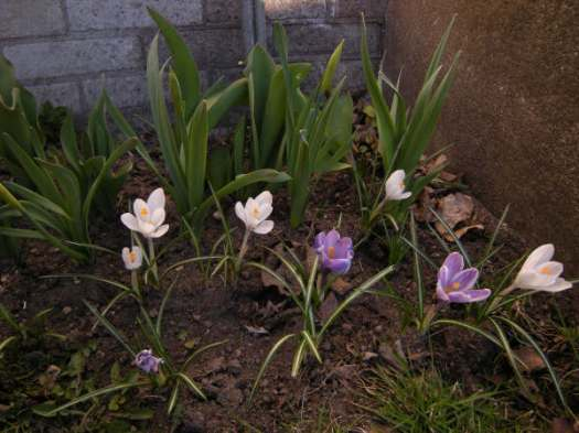 our crocuses